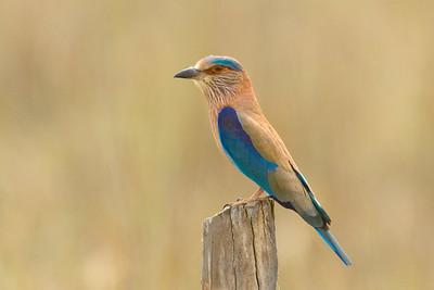 Indian Roller Kanah National Park