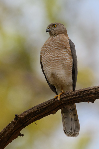 A Shikra (Little Banded Goshawk) hunts from the forest in Kanah Tiger Reserve.