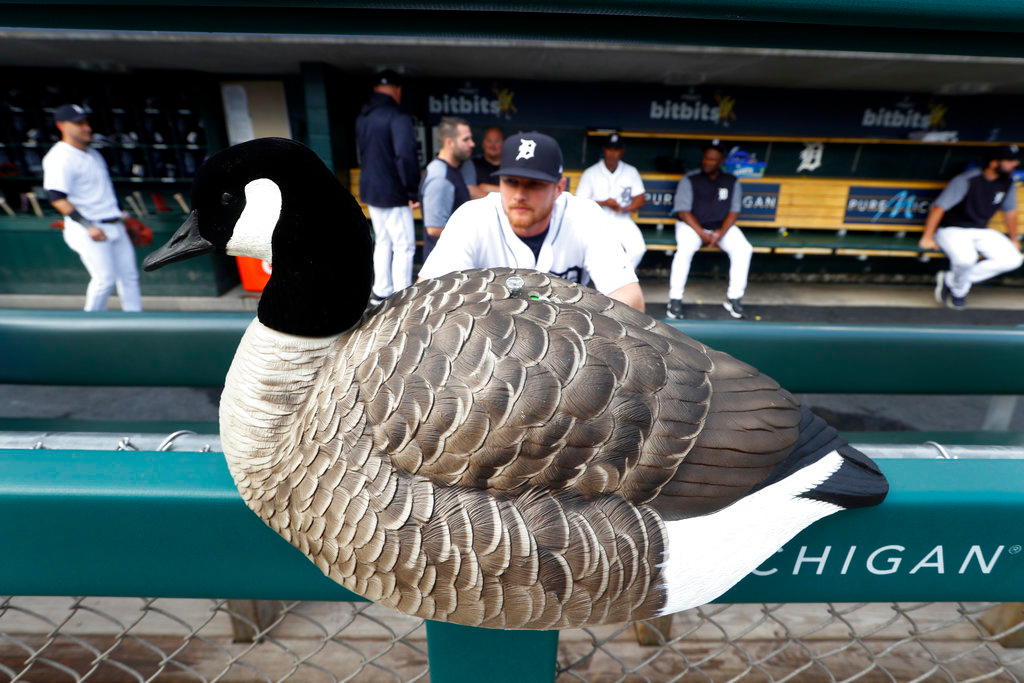 . A decoy goose sits on the dugout padding as Detroit Tigers catcher John Hicks watches the field before a baseball game against the Toronto Blue Jays in Detroit, Friday, June 1, 2018. (AP Photo/Paul Sancya)