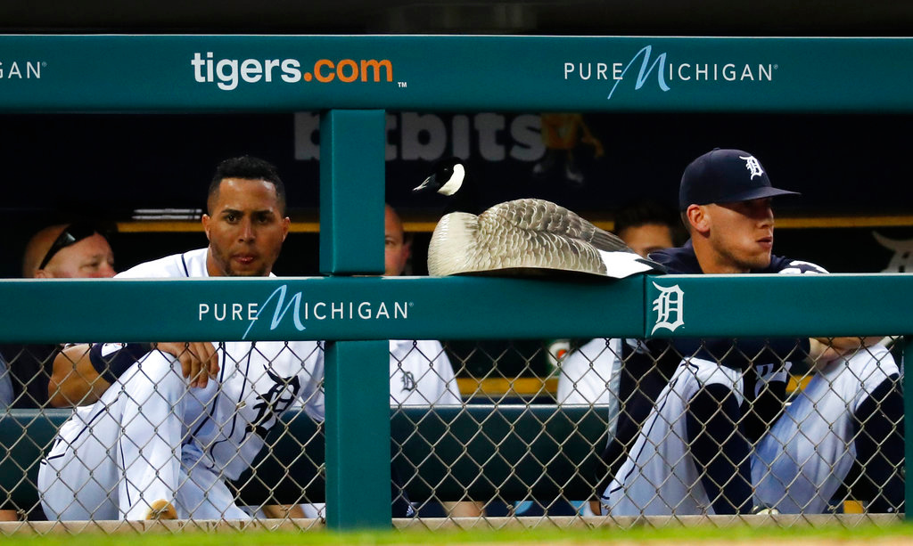 . A goose decoy sits on the padding of the Detroit Tigers dugout in the sixth inning of a baseball game against the Cleveland Indians in Detroit, Friday, June 8, 2018. (AP Photo/Paul Sancya)