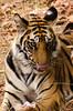 Tiger enjoying a bite