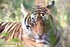 Look of a tiger cub