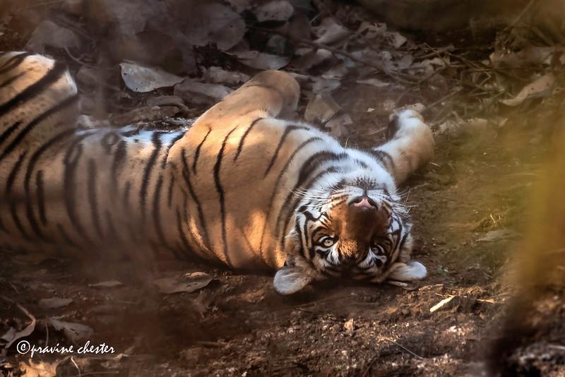 Lazy Tigress