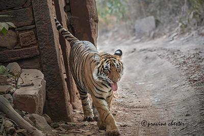 Tiger cub exploring