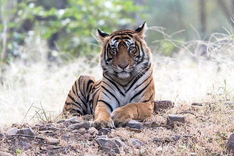 T-86 Male Tiger