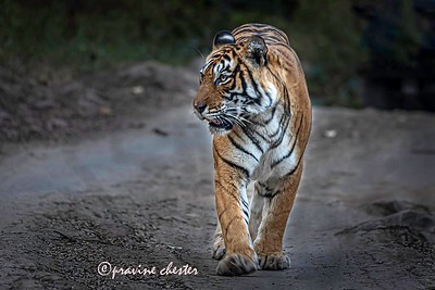 Tigress Noor