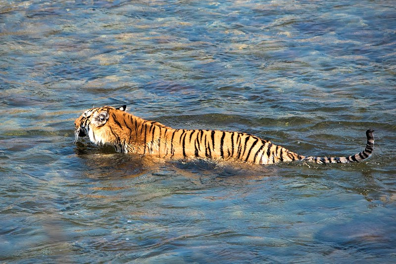 Tiger in the River