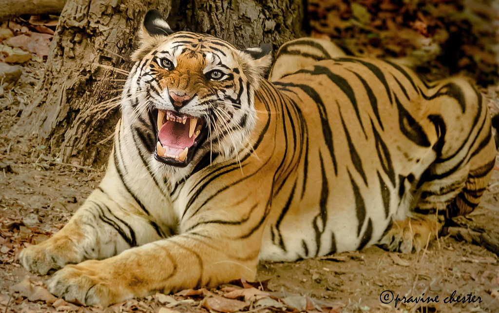 Angry Tigress