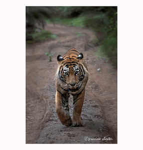 Male Tiger in Ranthambore