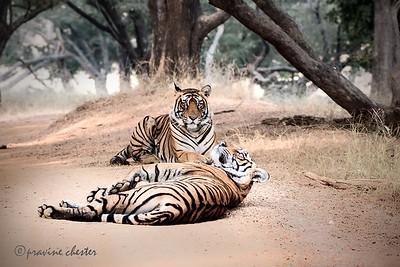 Tiger Courtship