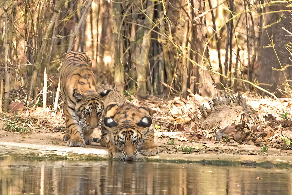 Thirsty cubs