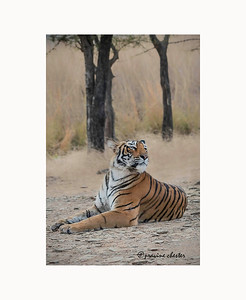 Pensive Tiger