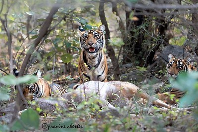 Tigers with their kill