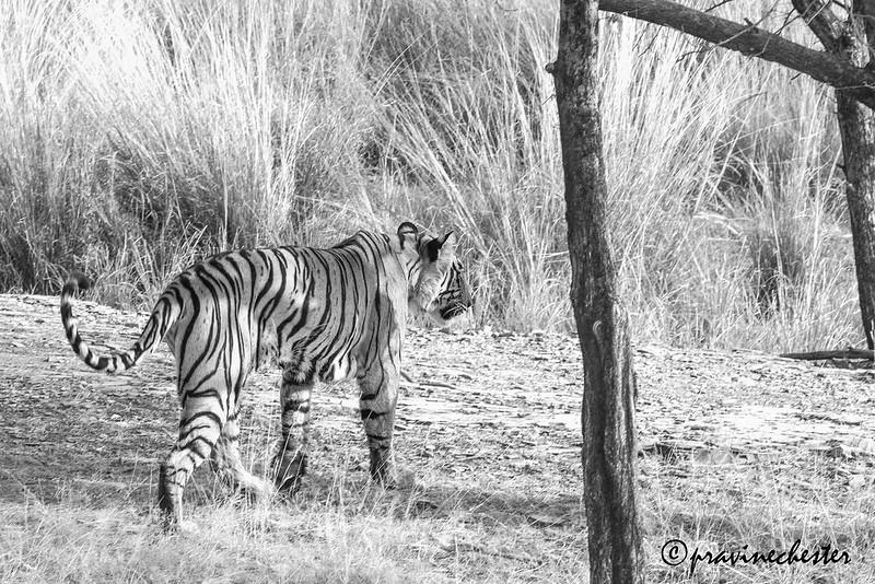 Tiger in monochrome