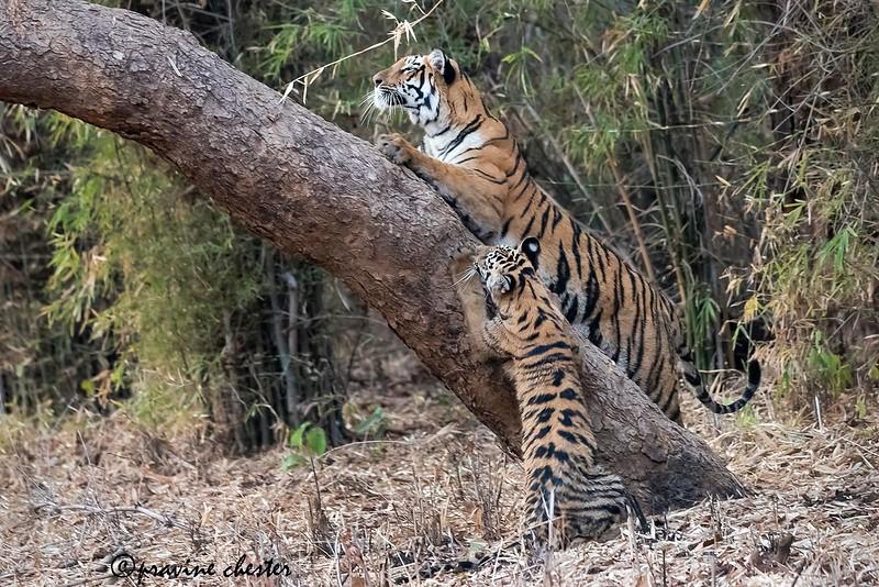Tigers on a tree