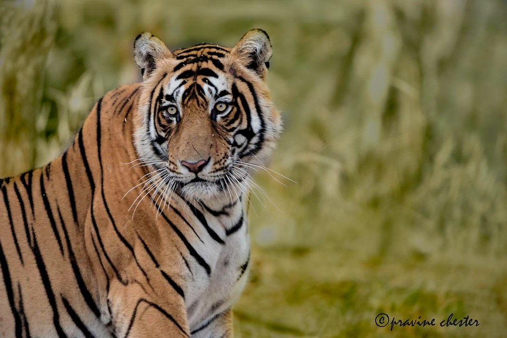Tiger Looking on