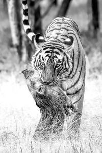 Tigress with her kill