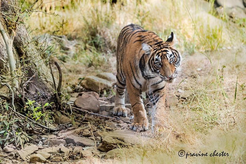 Tiger cub in the wild