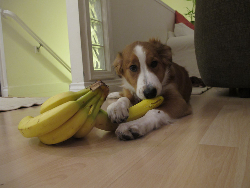 Not-quite-four-months-old, and stealing bananas.