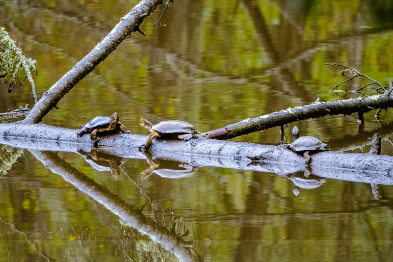 Western Pond Turtles at Jewel Lake in the Tilden Natural Area