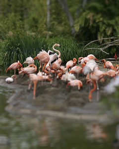 Tiny flamingos, San Diego Zoo, May 2008