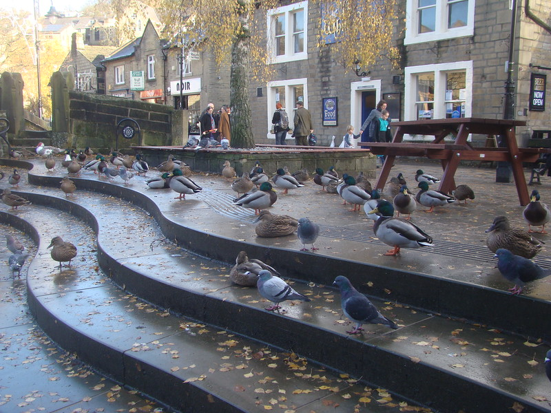 Hebden Bridge Ducks pic 1 of 2