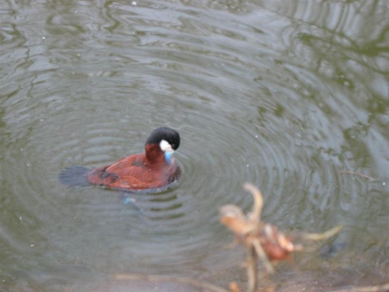 Putze-Duck