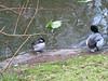 Balze-Duck