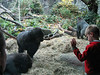 Gorilla hautnah