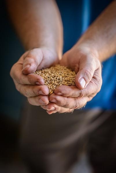 Barley at Timber Creek