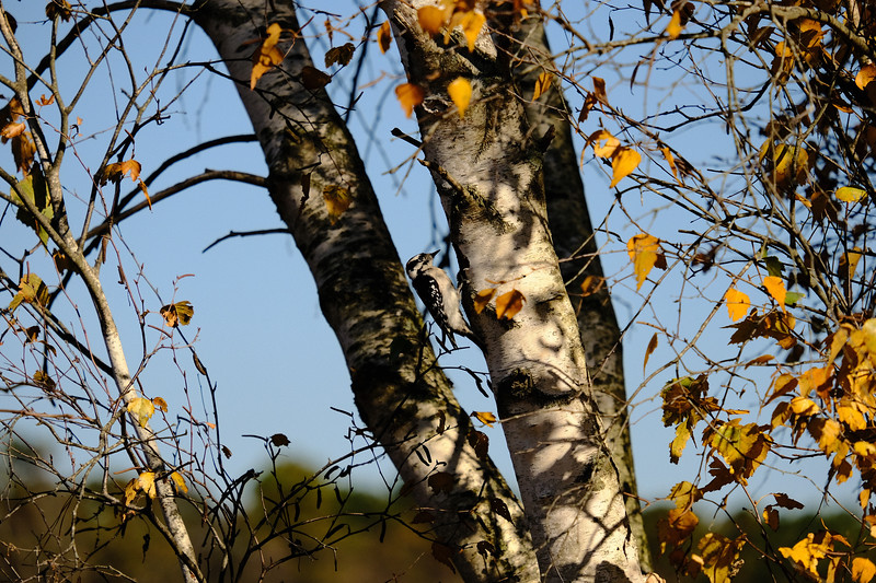 Downy Woodpecker In A Birch Tree