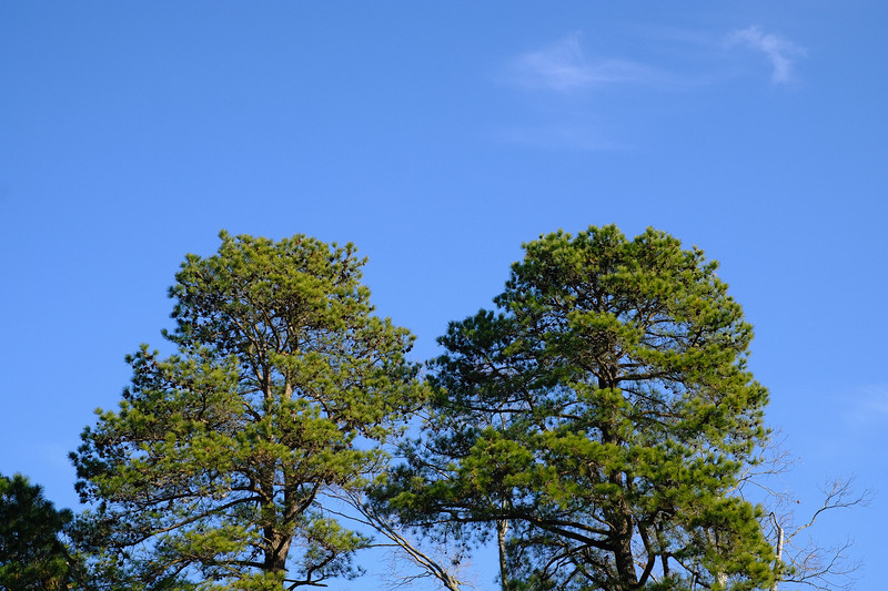 Neighbor's Pines