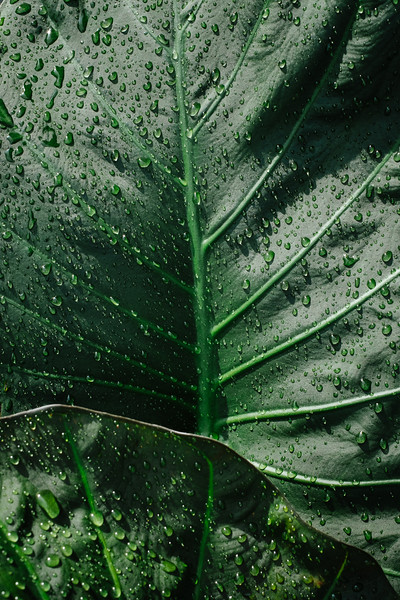 Close up of the elephant ear plants on our deck after a rain storm