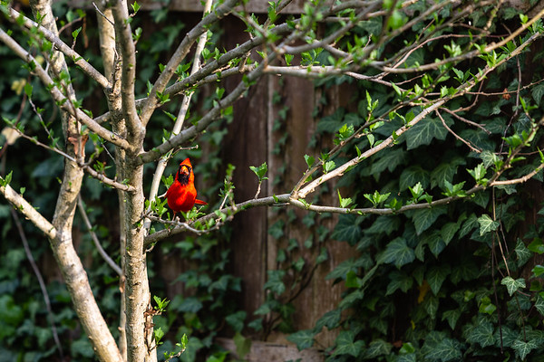 Cardinal In A Tree II