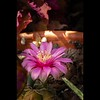 Time-lapse of blooming cactus flower:  YouTube-HD, 52meg file
