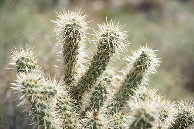 Joshua Tree Cholla