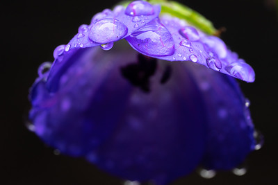 Water Drops On A Flower