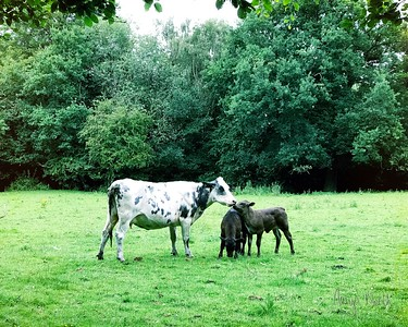 Cow Family Morning 5