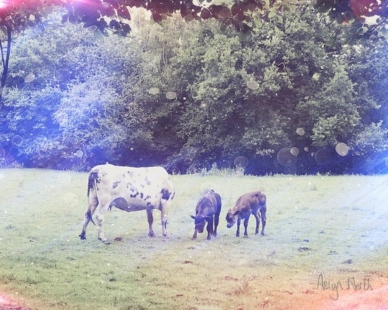Cow Family Morning 7