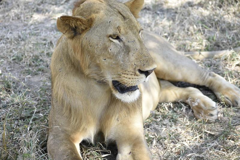 Just lion around.