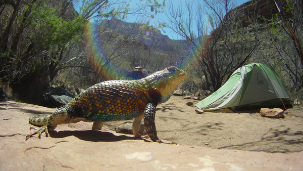 Grand Canyon Camp Critters