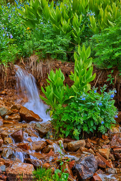 Mountain Stream & Wildflowers  - Yankee Boy Basin, Mount Sneffels Wilderness Area, Ouray, CO