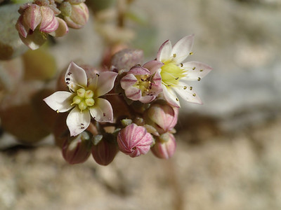 Groober flowers and buds