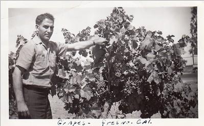 Papa Frank checks grapes in Fresno 1941