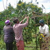 <i>Building a community Sukkah in Gathudia-Kasuku village in Kenya. Photo courtesy Yehudah Kimani, October 2014.</i><br><br>This photo shows Yehudah Kimani and other community members making a sukkah two days before the Sukkot holiday begins in Kenya. This is a community sukkah, located just outside the synagogue.<br><br>The tradition of building sukkah has existed in this African Jewish community for more than 20 years. Every family in this community makes their own sukkah (this year about 18 of them were built!), in addition to the community sukkah. Learn more about the Jews of Kenya at www.kulanu.org/kenya