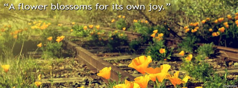 California Poppy Flowers growing in the old railroad tracks