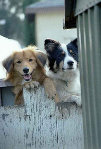 This is mother and son dogs visiting us over the fence.
