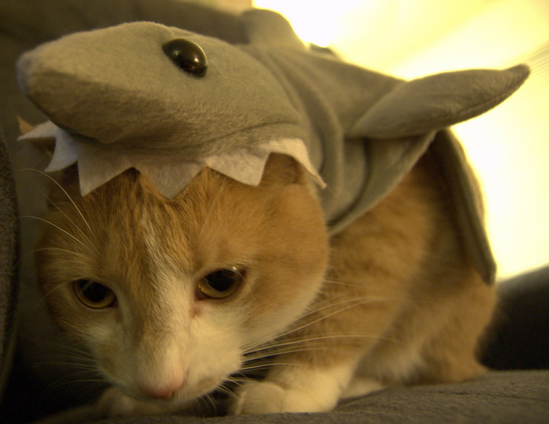 Stanley as a shark for Halloween.