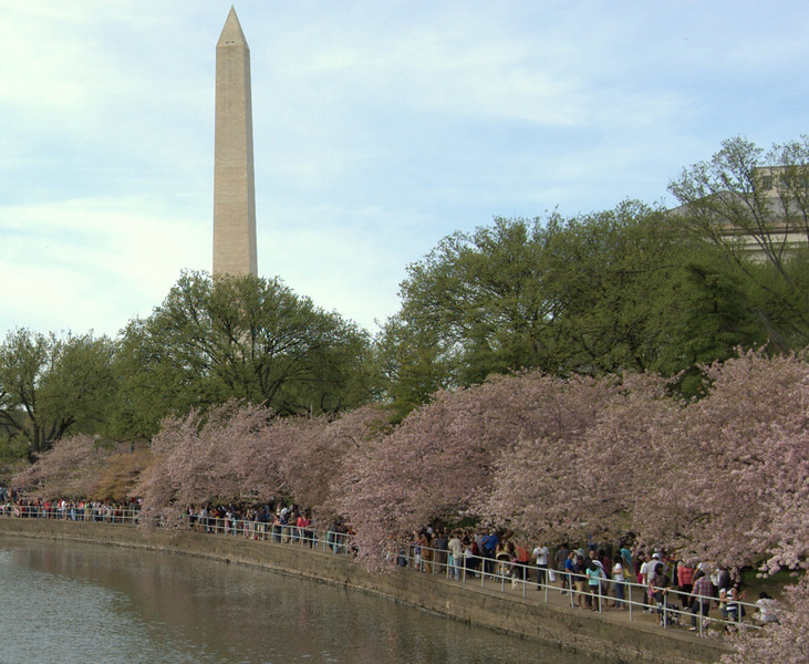 Cherry Blossom Tourists