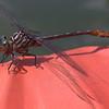 Dragonfly at Muddy Run